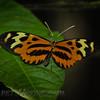 Harmonia Tigerwing (Tithorea harmonia ssp?)