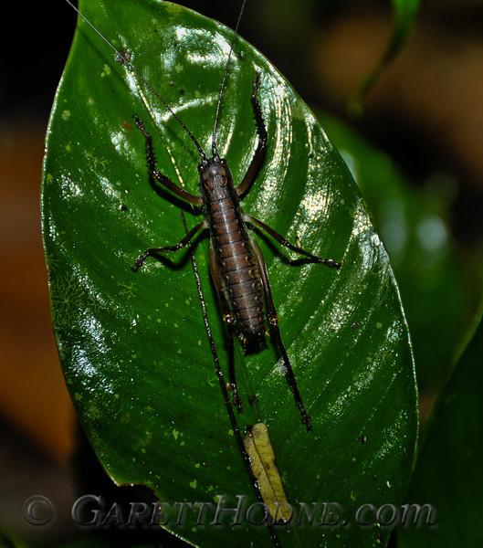 Cricket type bug