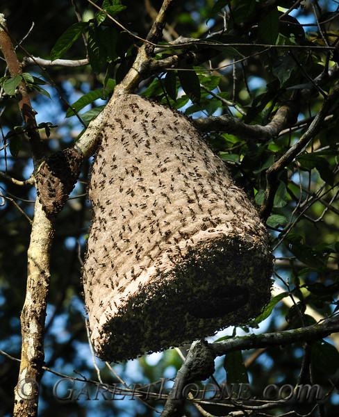 Wasp nest (sp?)