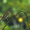 Black-billed Thrush (Turdus ignobilis)
