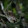 Ferruginous Pygmy-Owl (Glaucidium brasilianum)