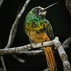 White-chinned Jacamar (Galbula tombacea)