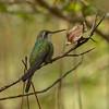 Cuban Emerald (Chlorostilbon ricordii)