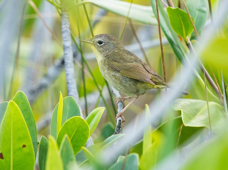 Bahama Yellowthroat (Geothlypis rostrata)