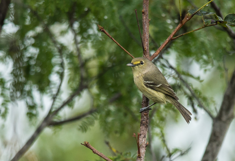 Thick-billed Vireo (Vireo crassirostris)