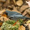 Red-legged Thrush (Turdus plumbeus)