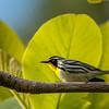 Yellow-throated Warbler (Setophaga dominica)