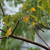 Olive-capped Warbler (Dendroica pityophila)