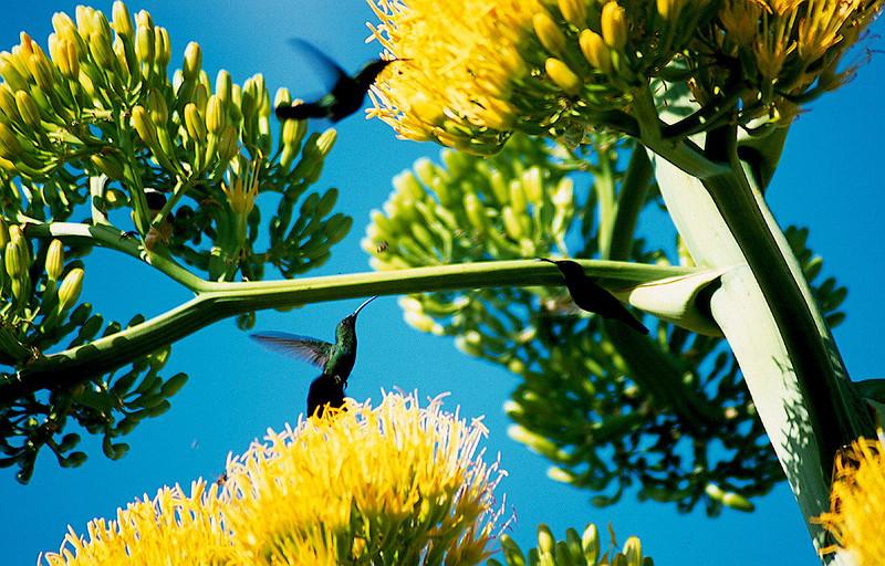 Green-throated Carib (Eulampis holosericeus)