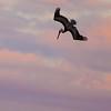 pelicans_sunset-3
