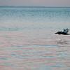 pelicans_sunset-5