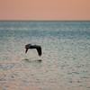 pelicans_sunset-2