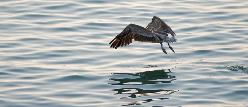 Puerto Rican Pelican