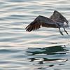 Pelican_Sunrise-14