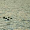 Pelican_Sunrise-5
