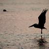 pelicans_sunset-11