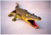 A rubber alligator, about 2.5 feet long, that my younger daughter bought as a souvenir in Panama City Beach, Florida in 1995.  I had just bought a 50mm lens for the Nikon N90s I had at the time, around the year 2000.