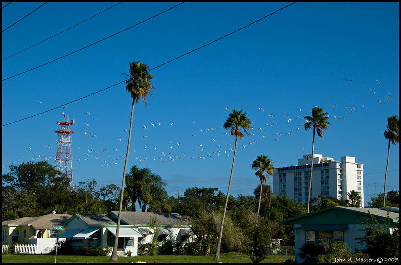White ibis flying past Fee Avenue in Melbourne, Florida.