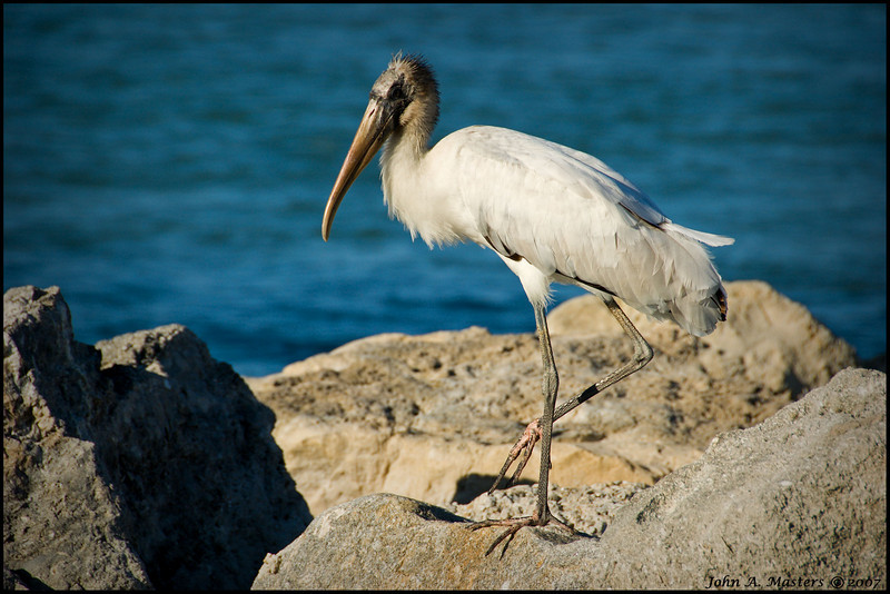 Stork taking a vacation from delivering babies.  Sebastian Inlet State Park, Sebastian, Florida.