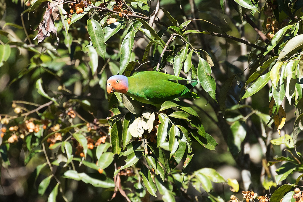 Red-cheeked Parrot
