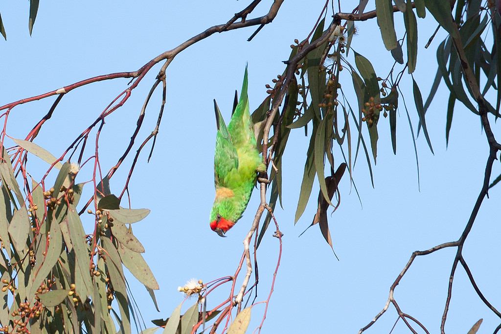 Little Lorikeet