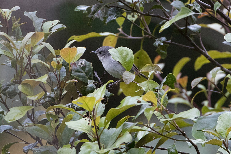Grey Thornbill
