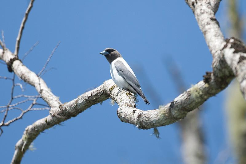 Ivory-backed Woodswallow