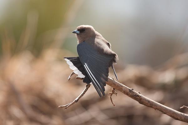 148 Artarmidae - Woodswallows Butcherbirds & Allies