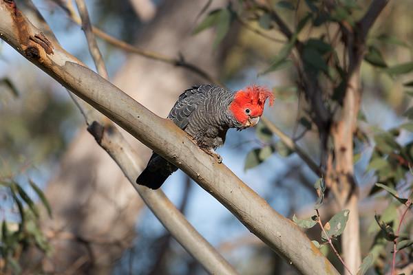 107 Cacatuidae - Cockatoos