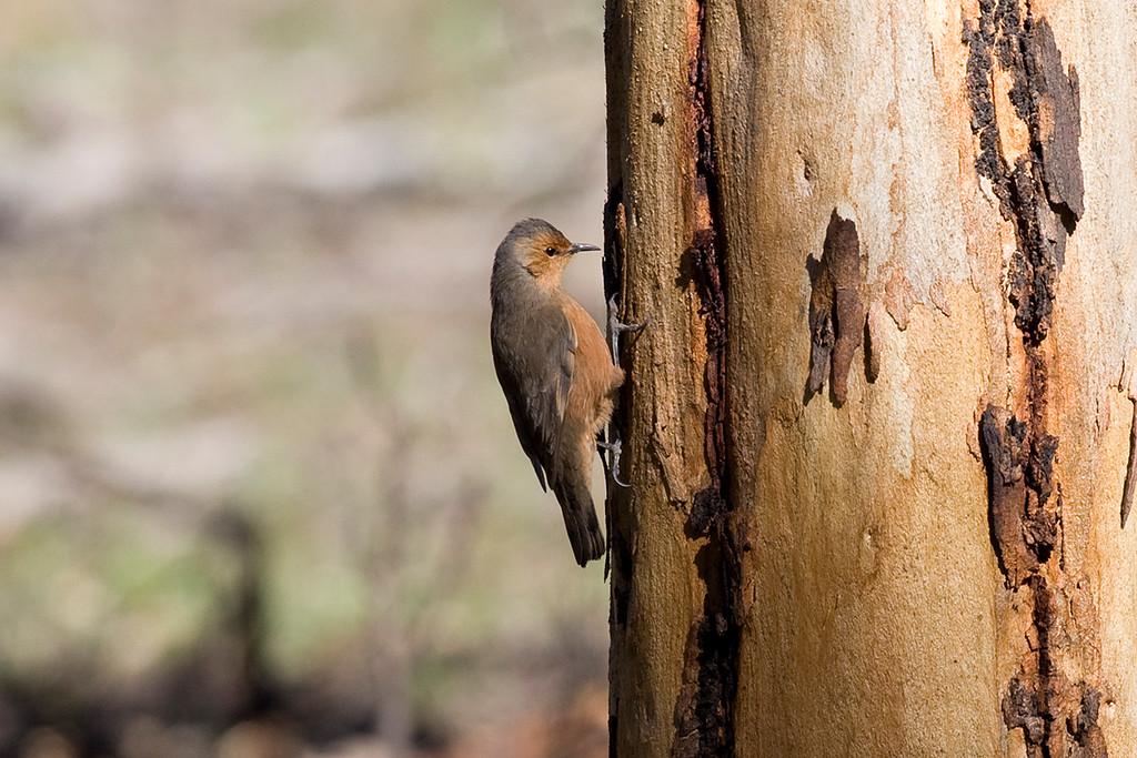 Rufous Treecreeper