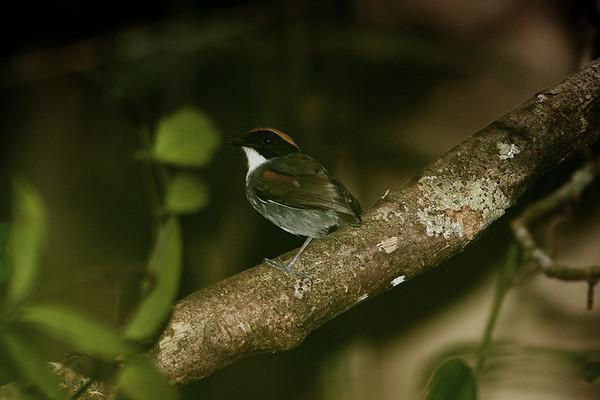 117 Conopophagidae - Gnateaters