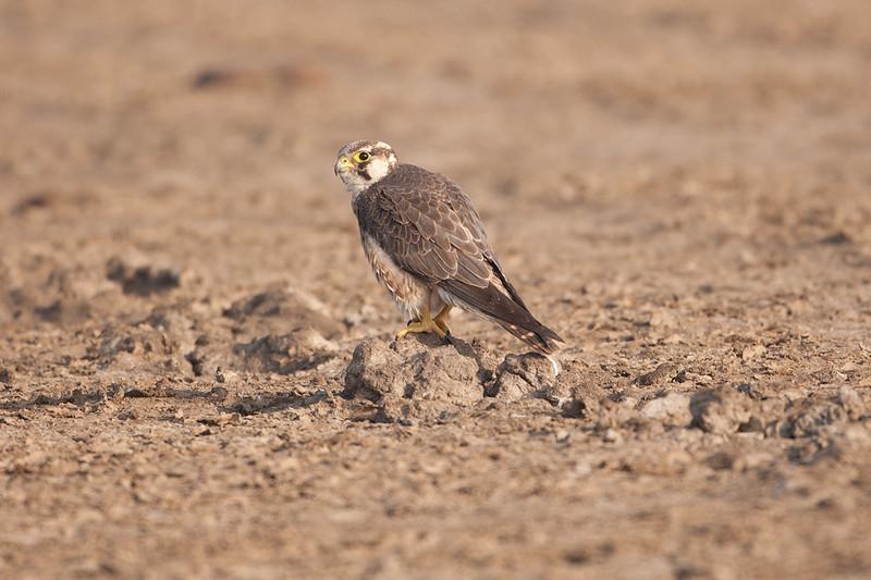 Lagger Falcon