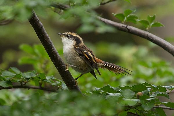 113 Furnariidae - Ovenbirds