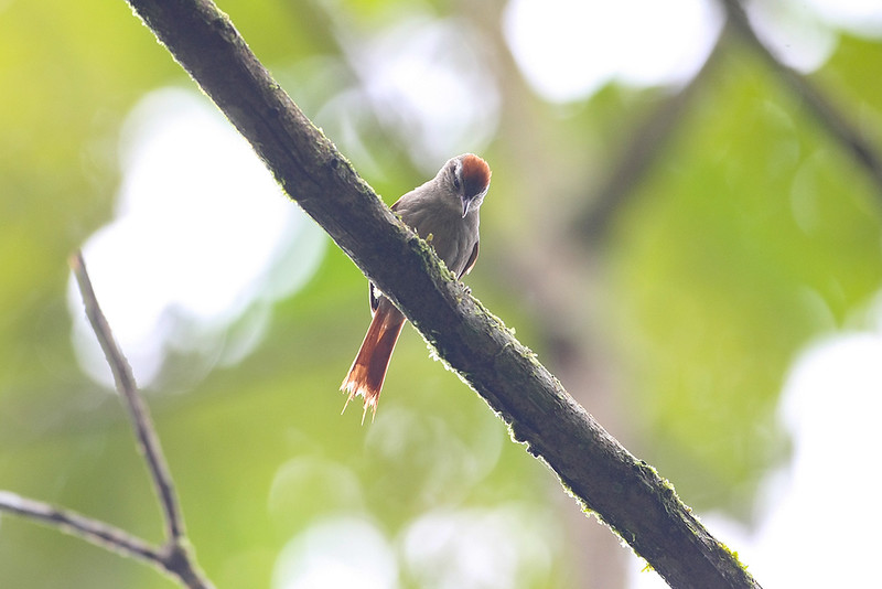 Pallid Spinetail