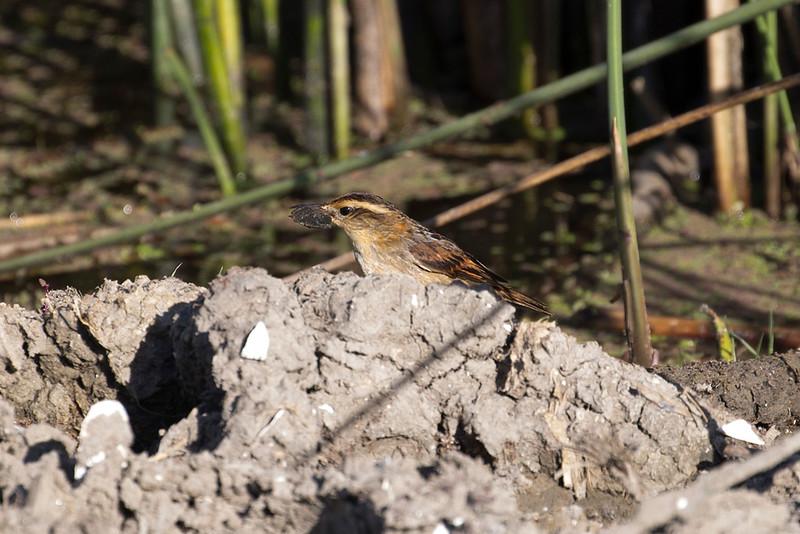 Wren-like Rushbird