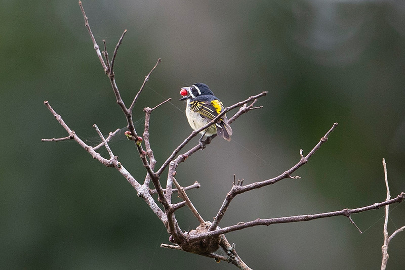 Yellow-throated Tinkerbird