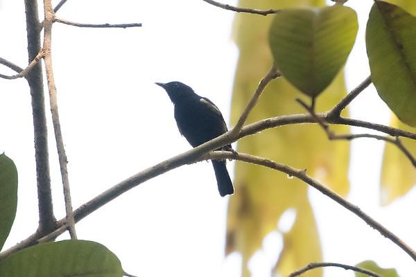 136 Melanocharitidae - Berrypeckers & Longbills