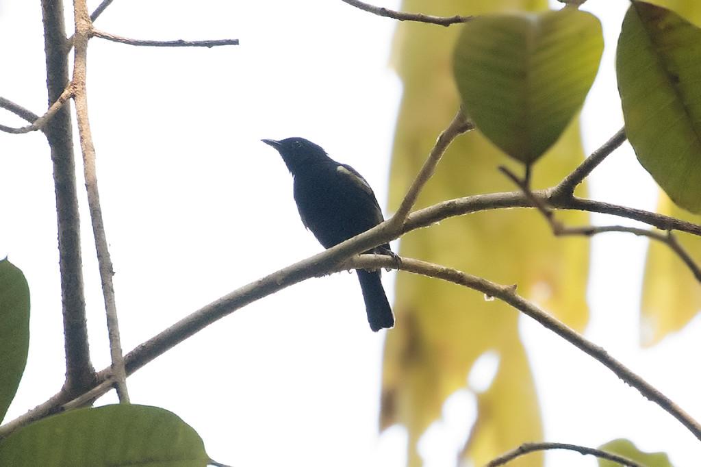 Black Berrypecker