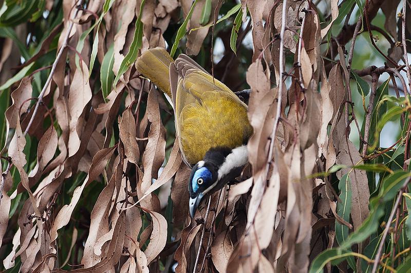 Blue-faced Honeyeater (race cyanotis)