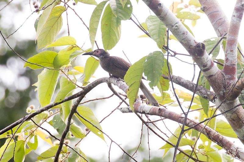 Dusky Friarbird