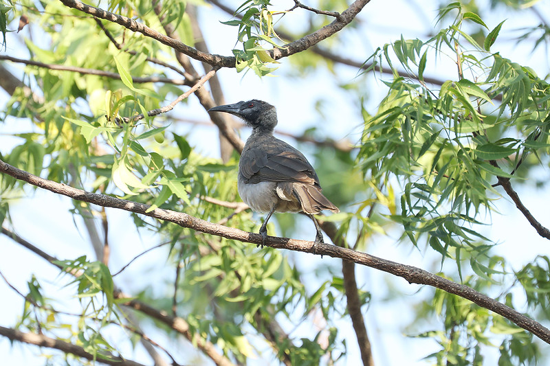 New Guinea Friarbird (race trivialis)