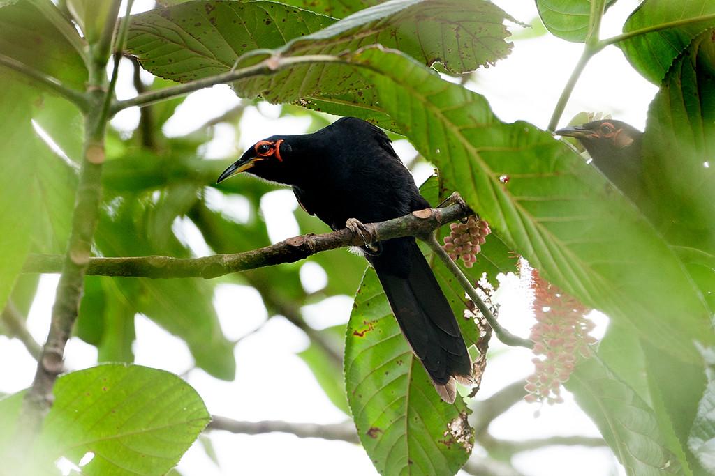 Crow Honeyeater