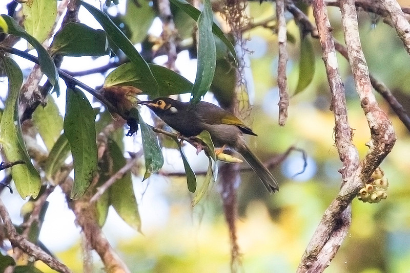 Black-throated Honeyeater
