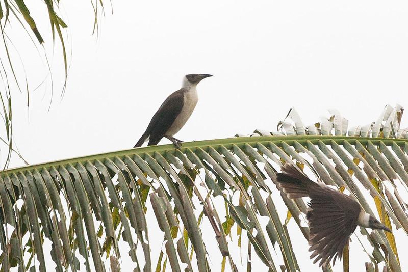 Manus Friarbird