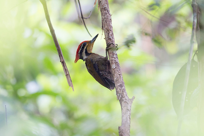 Olive-backed Woodpecker