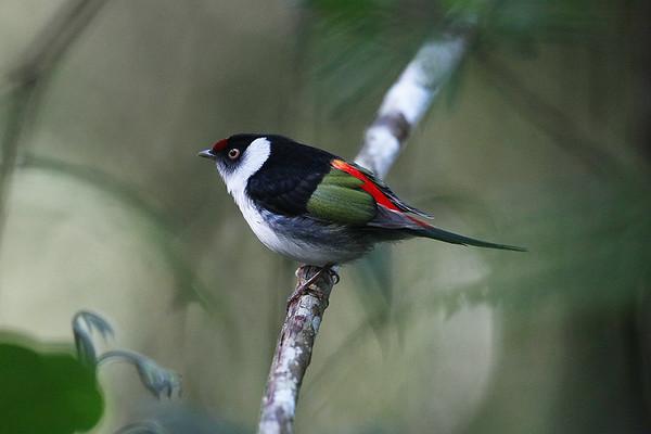 122 Pipridae - Manakins