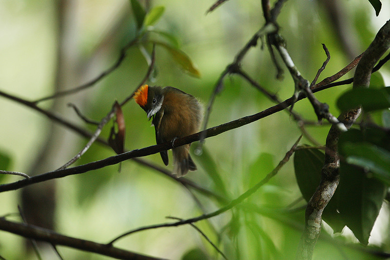 Orange-crowned Manakin