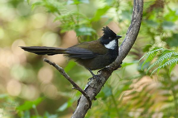 140 Psophodidae - Whipbirds, Quailthrush & Allies
