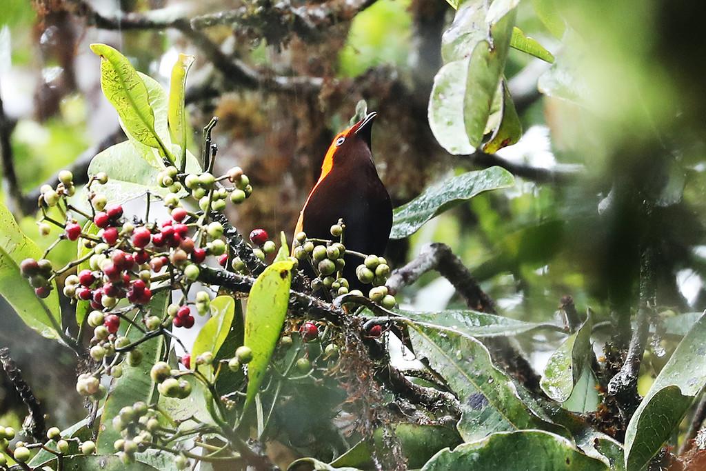 Crested Satinbird