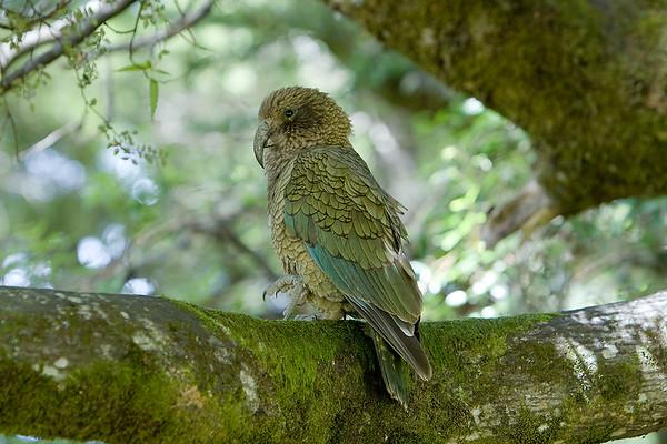 106 Strigopidae - New Zealand Parrots